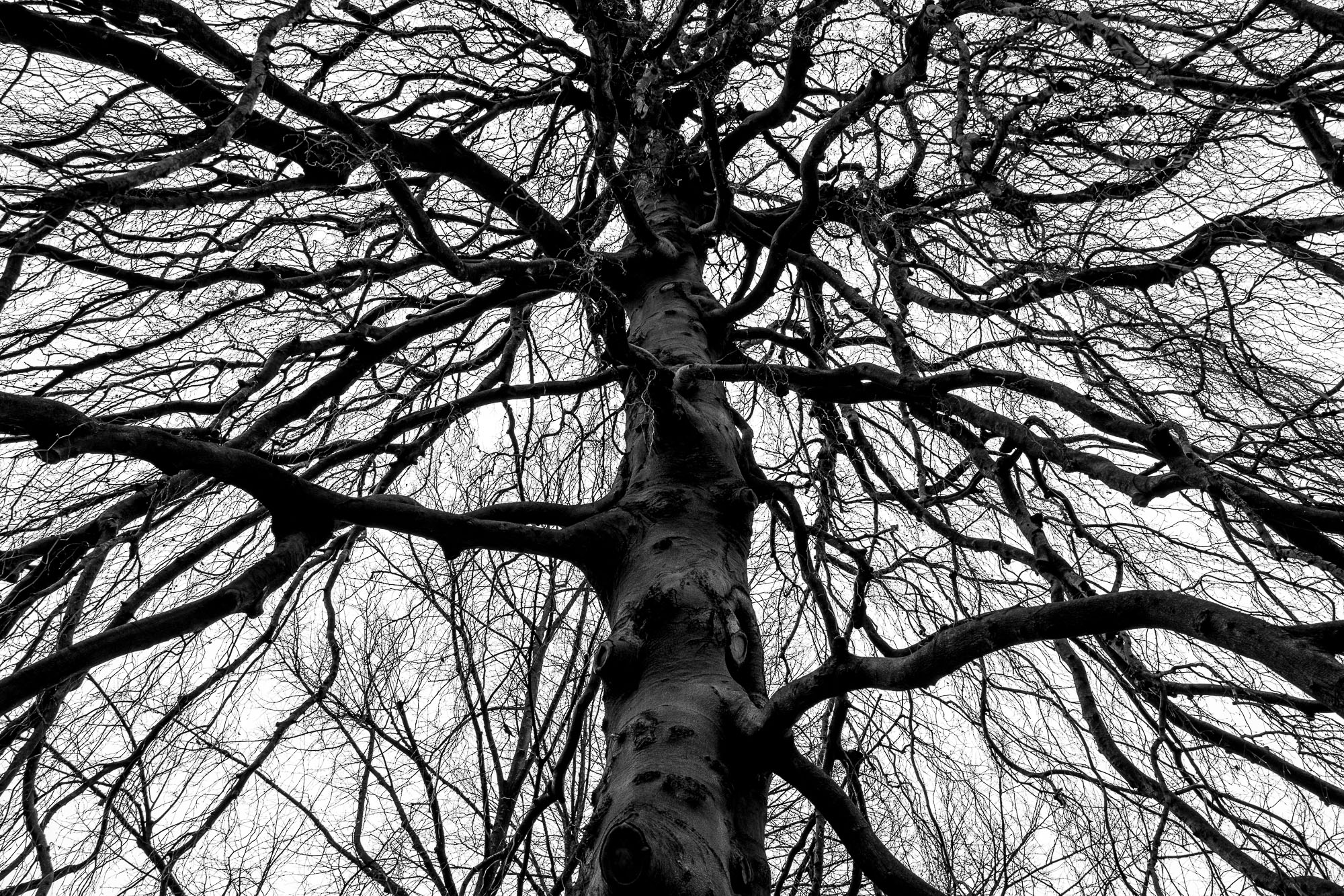 Almost silhouetted tree, shot upwards, with lots of branches.