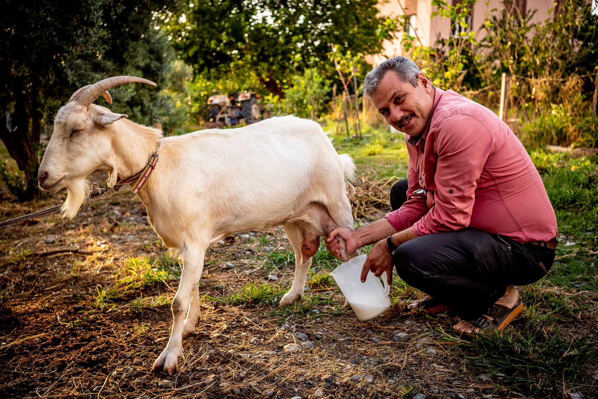 Uncle Hüseyin milking the goat