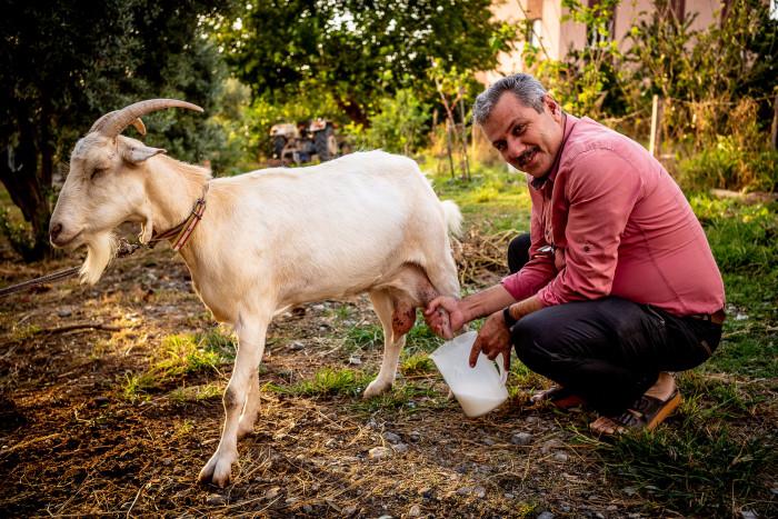 Uncle Hüseyin milking the goat