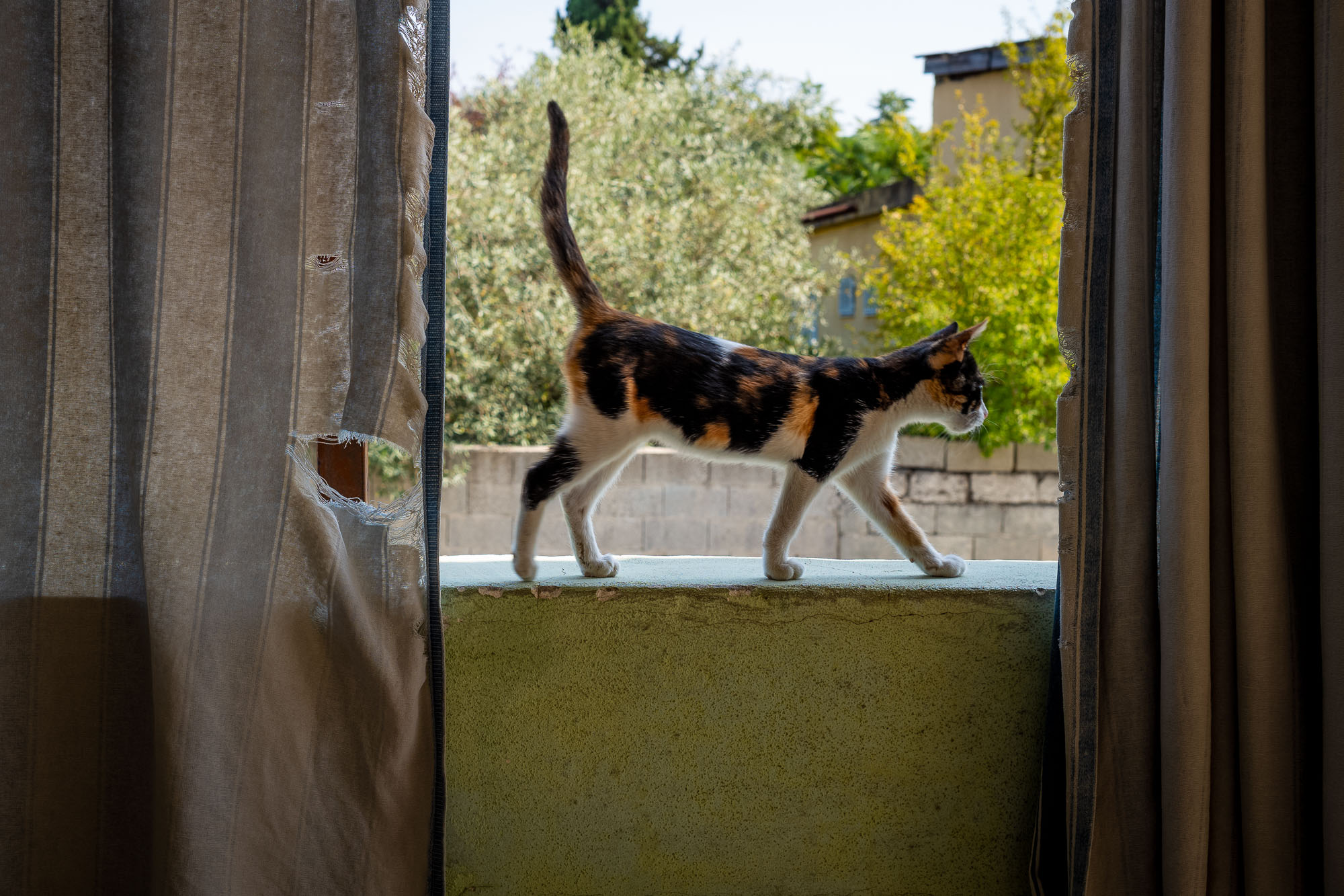 Cat walking along the top of a wall between two curtains