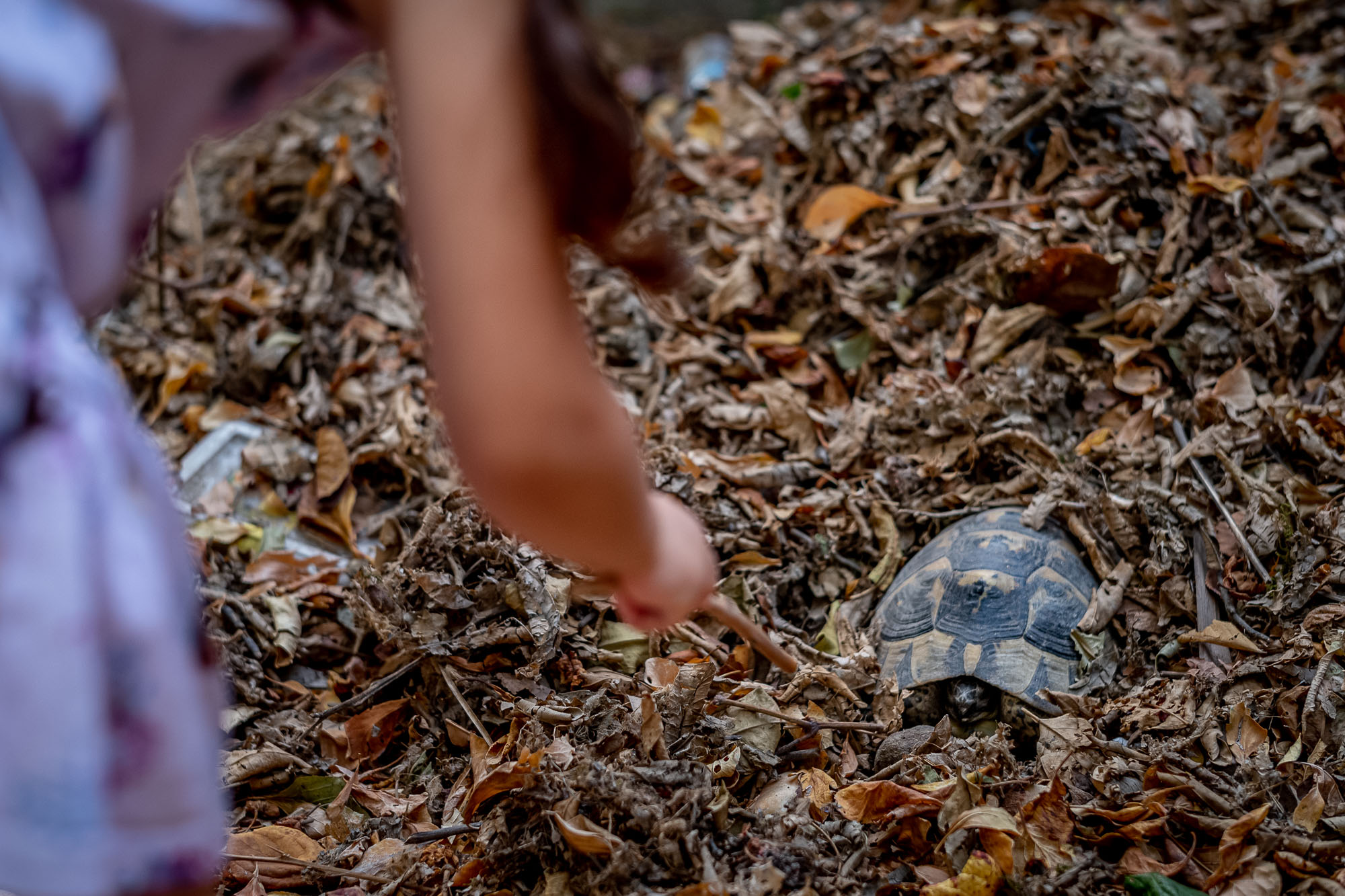 Removing leaves off a turtle hidden in a pile of leaves