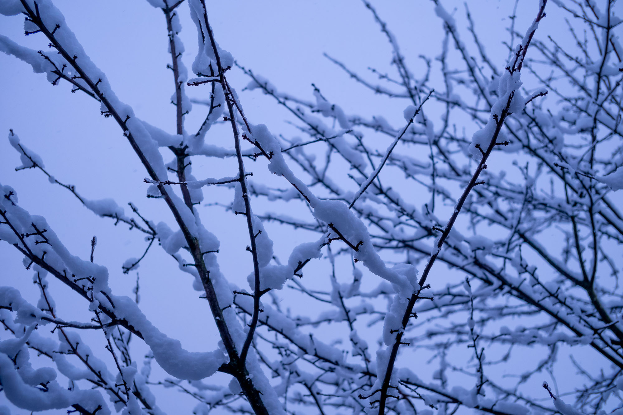 Thick snow on tree branches