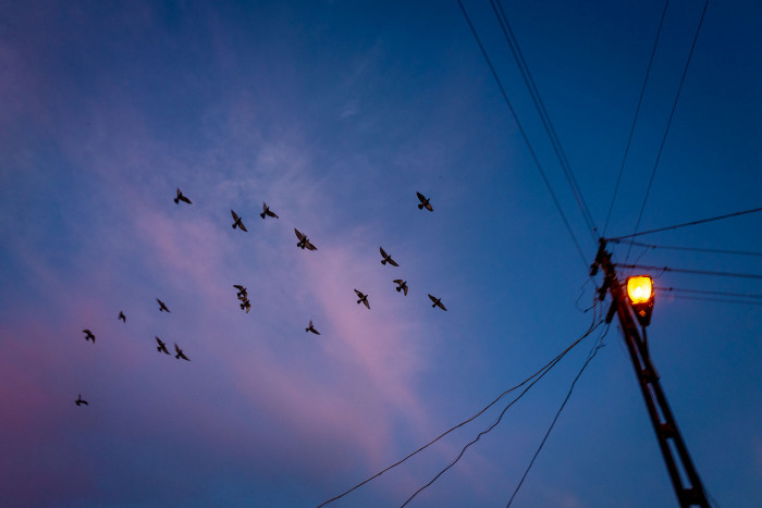 A flock of flying birds before a backdrop of pink clouds and a streetlamp with wires going in every direction