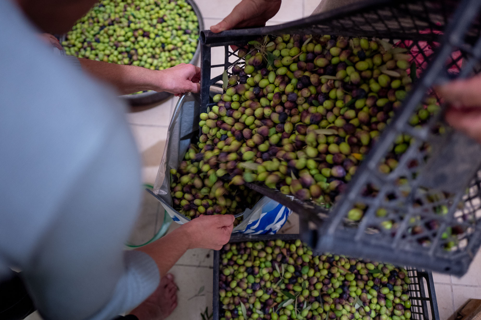 Pouring olives from a crate into a plastic bag